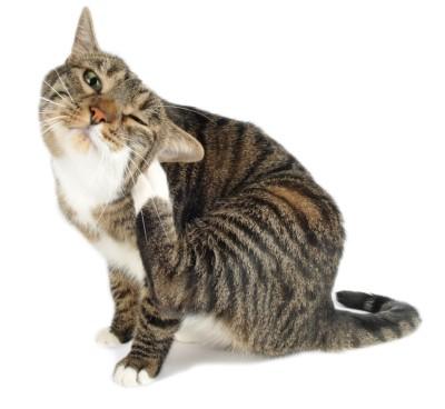 Jeuk bij de kat